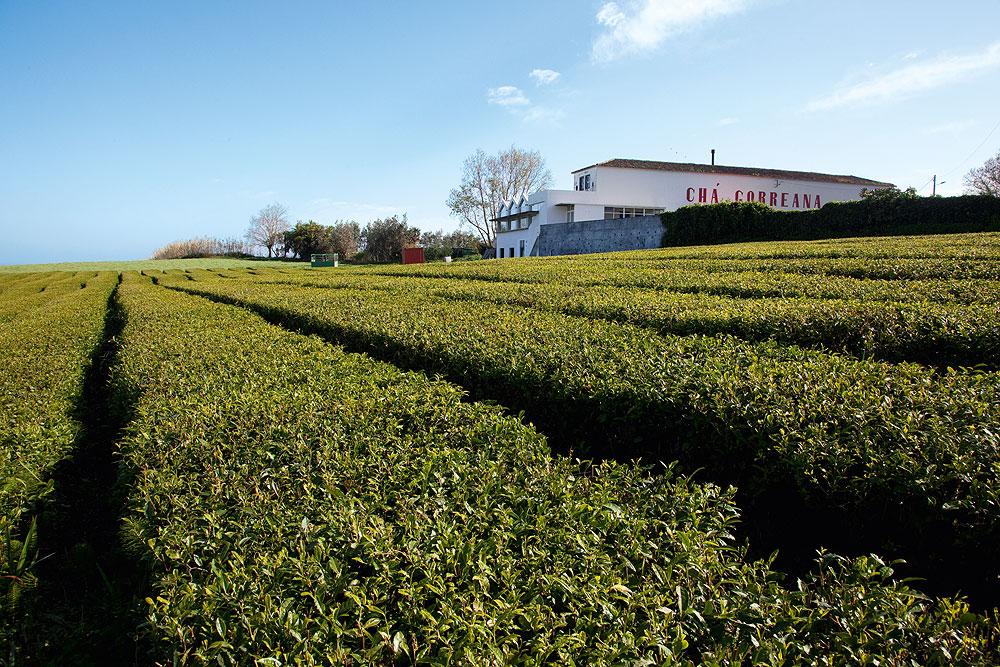 Teeplantage Gorreana auf São Miguel, Azoren
