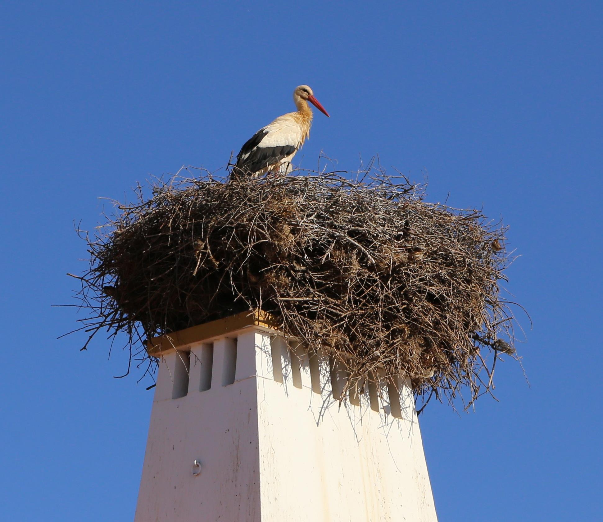 Storch Nest Rasmalho