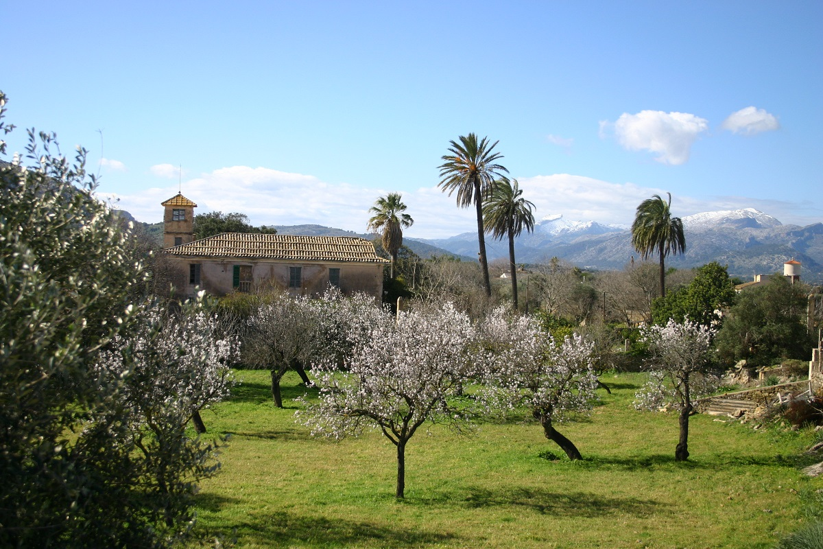 Palmen und blühende Mandelbäume im Februar auf Mallorca