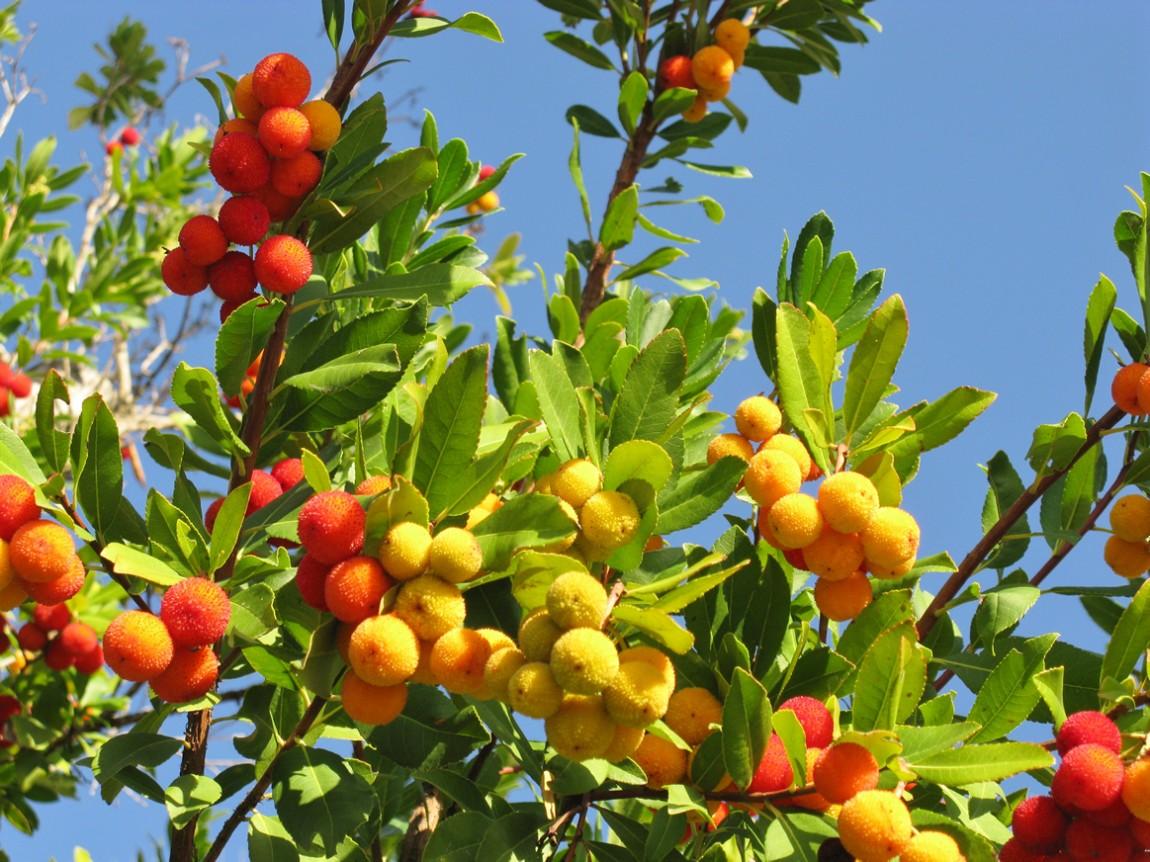 Grundlage für den berühmten Schnaps Portugals: Früchte des Erdbeerbaums