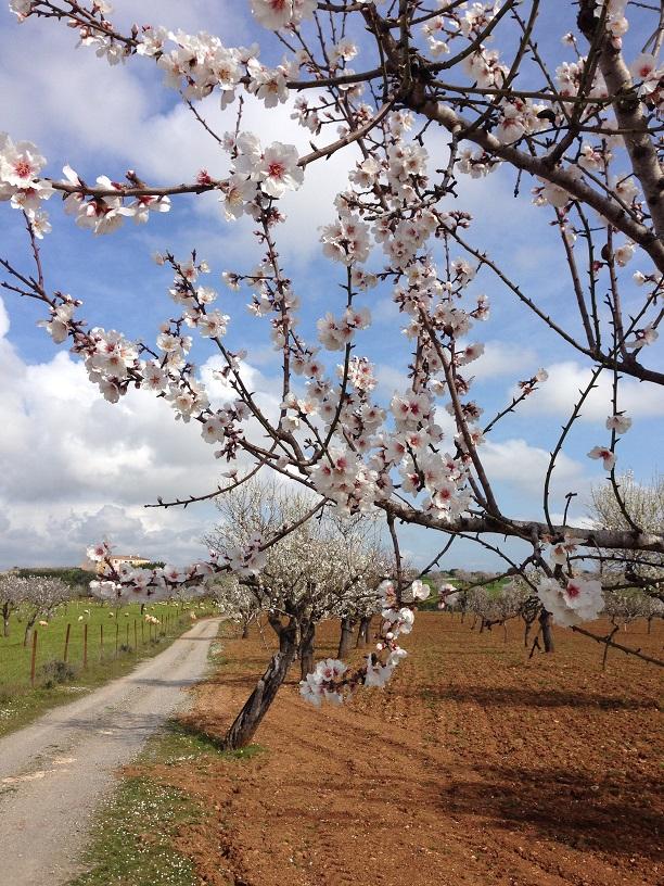 Mandelblütenbaum_Mallorca
