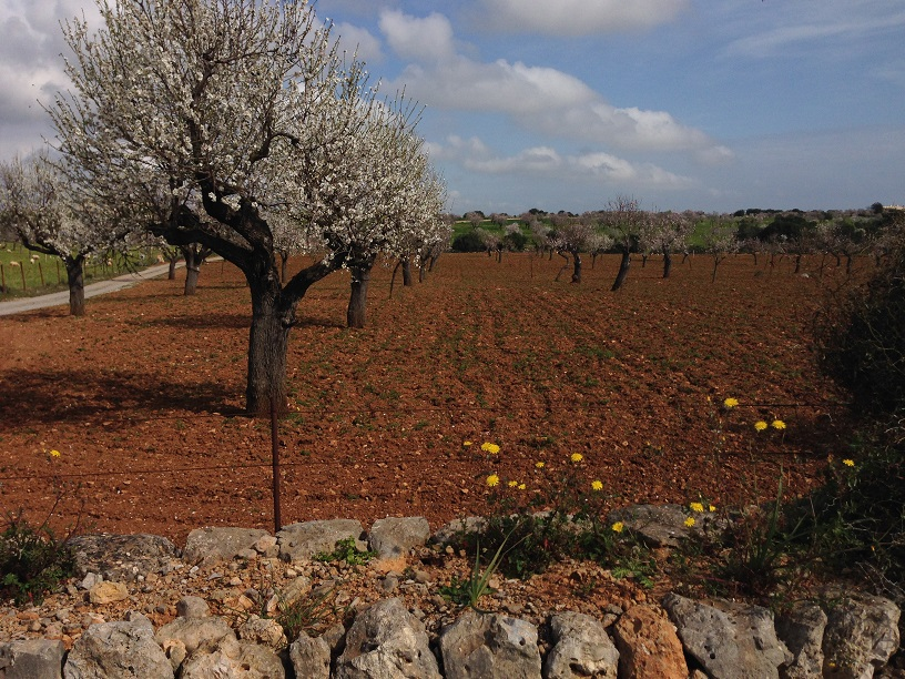 Mandelblütenhain_Mallorca