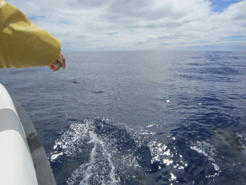 Whale Watching, Azoren