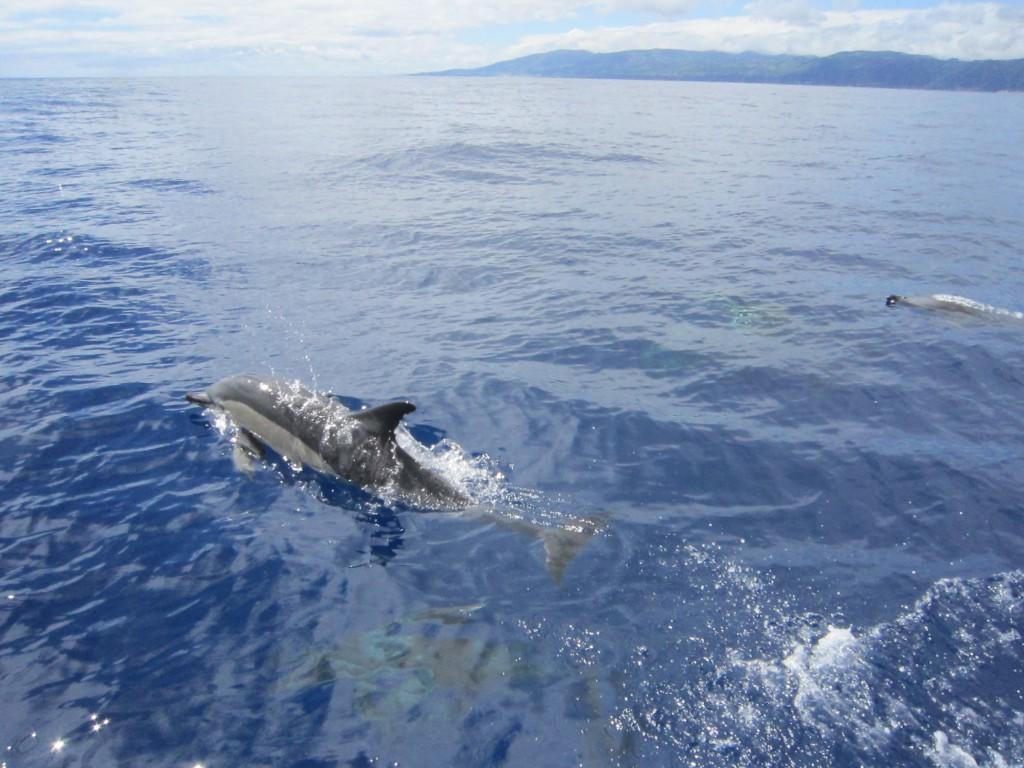 Delfine Azoren