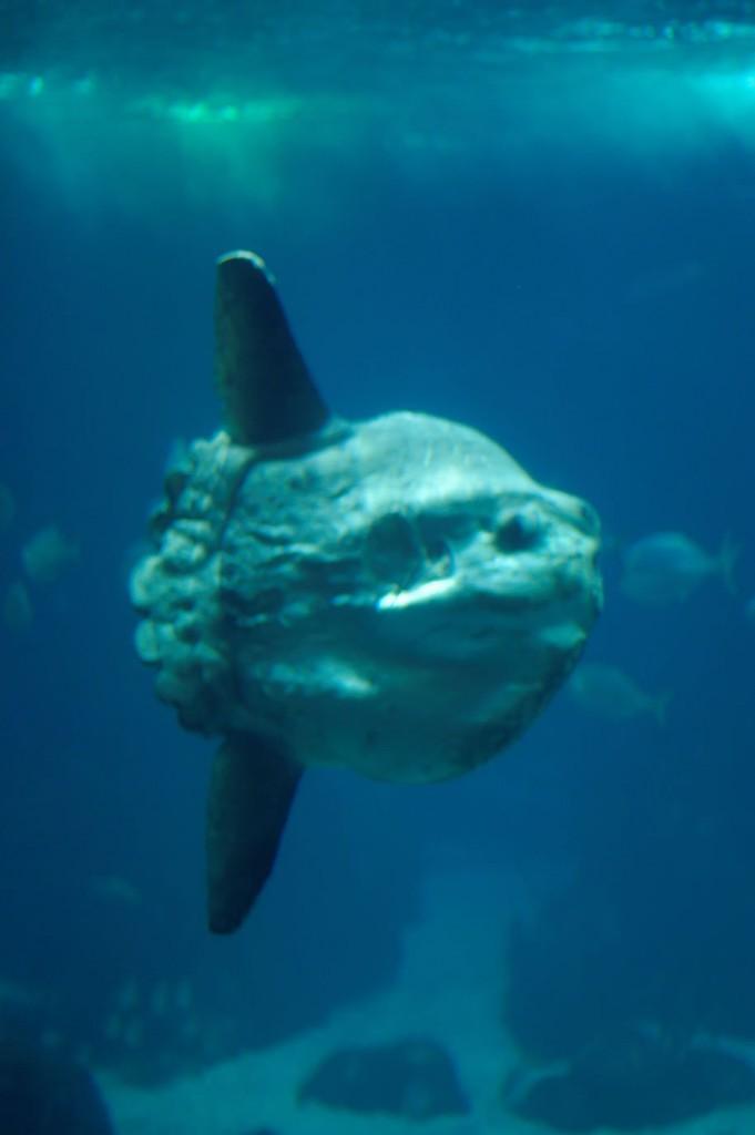Mondfisch Mola Mola im Oceanário in Lissabon