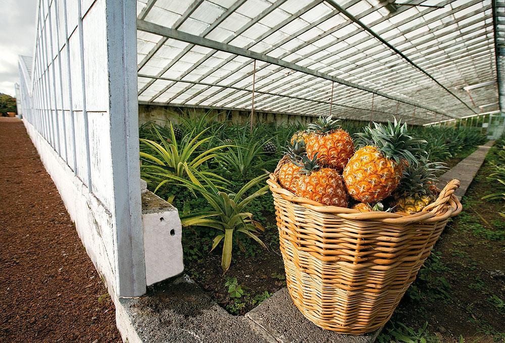 Azoreanische Ananas