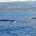 Whale Watching auf den Azoren © Günter Liesegang