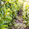 Tee Plantage besichtigen