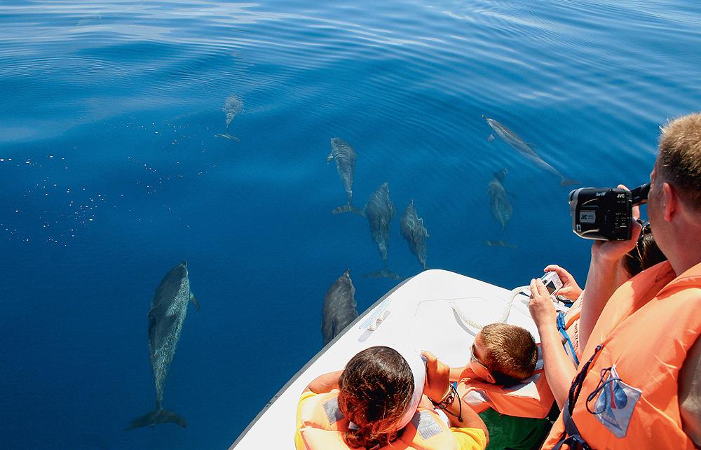 Whale Watching auf den Azoren - Delfine schwimmen im Wasser