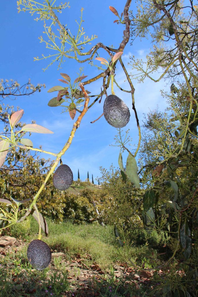 Avocados in Andalusien