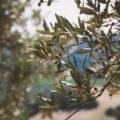Olivenzweig Toskana