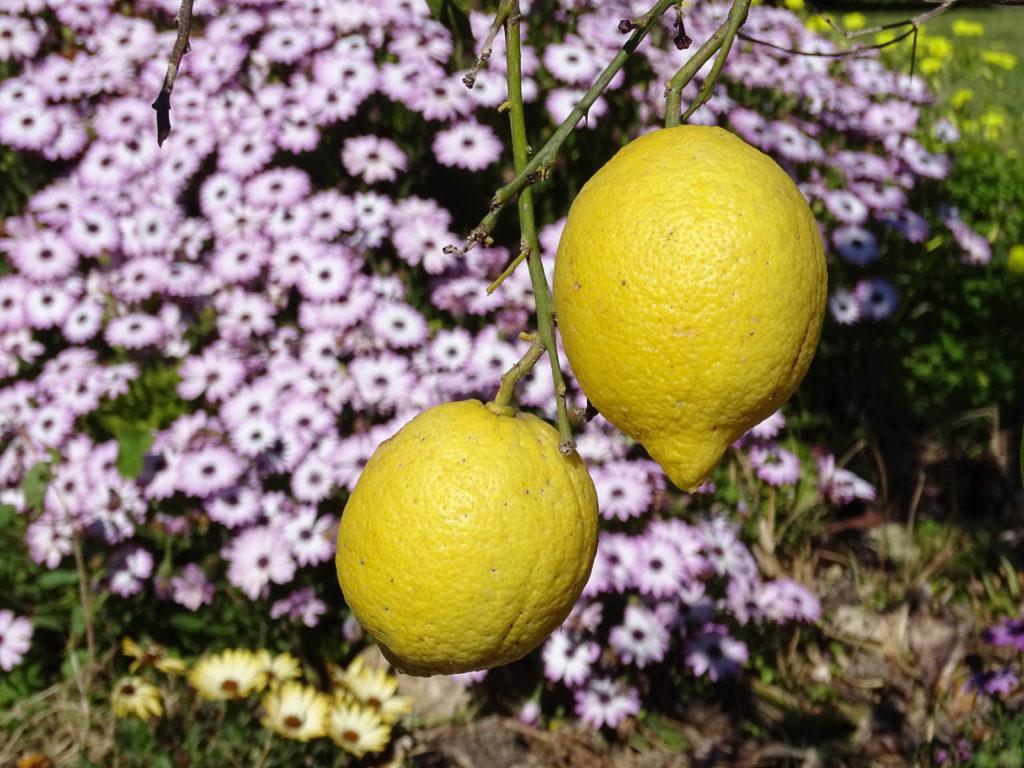 Zitronen Sizilien