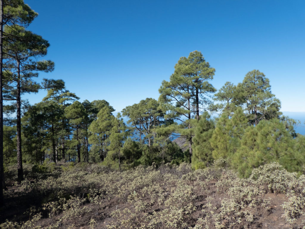 Kiefern Naturpark Tamadaba
