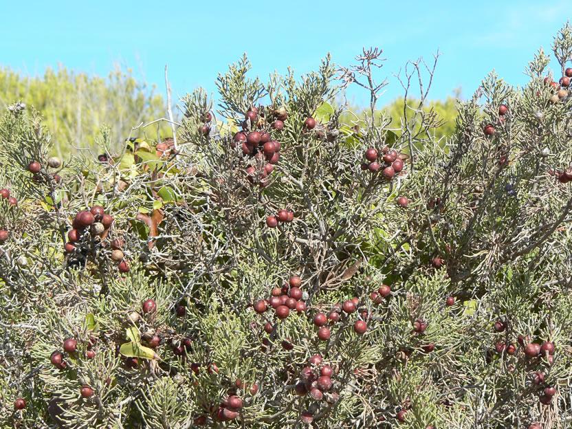 Gin-Beeren genannt Zimbro