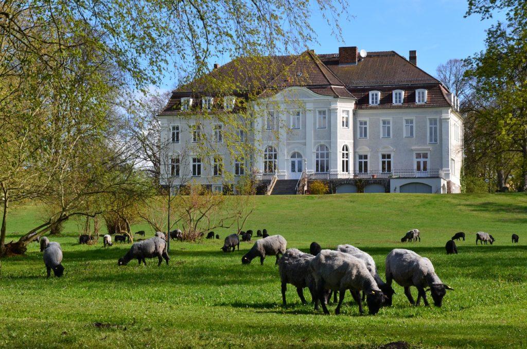 Grasende Schafe auf Golfplatz