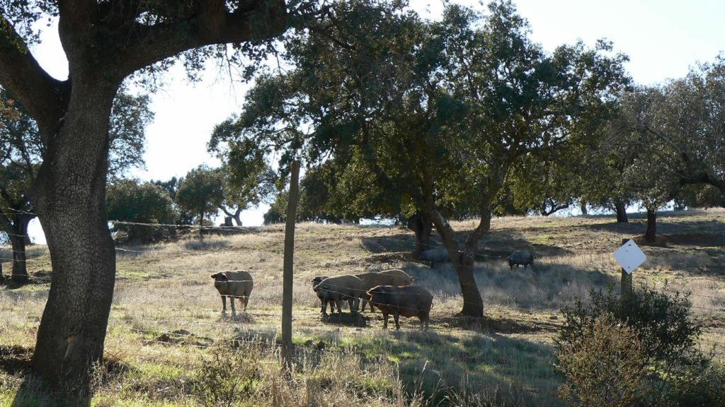Herde schwarze Schweine im Alentejo