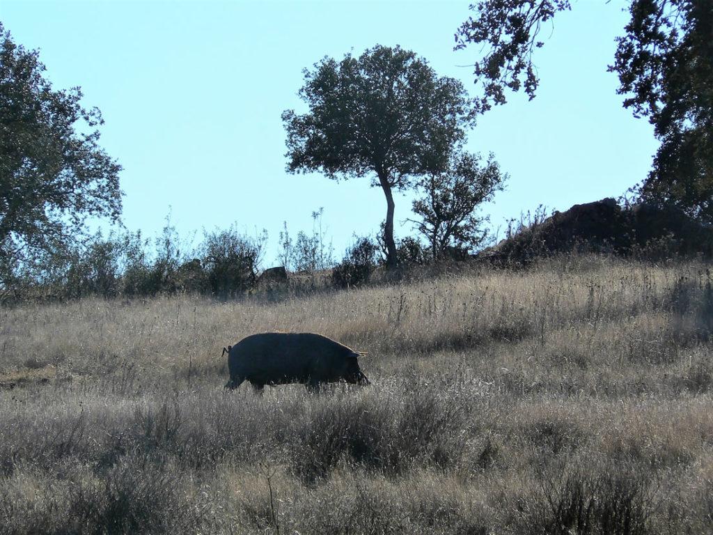 Porco Preto Eber Alentejo